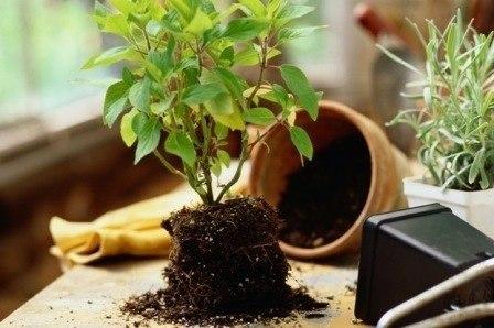 ПЕРЕСАДКА комнатных растений и цветов: как и когда ЛУЧШЕ? 49