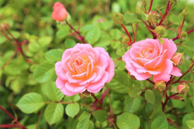 Рисунок розы поэтапно фото голые
