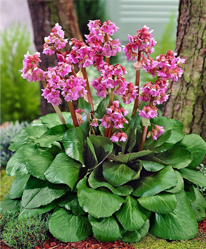 Бадан фото цветов