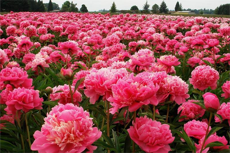 Пионы как ухаживать после цветения