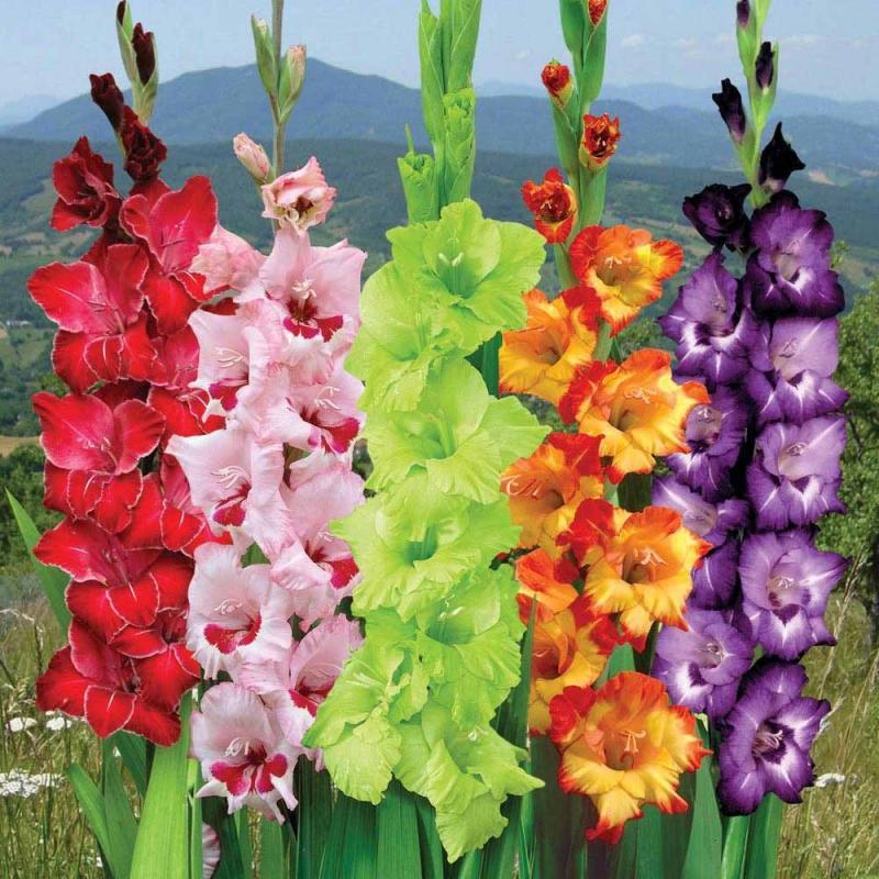 Как выглядит цветок гладиолус