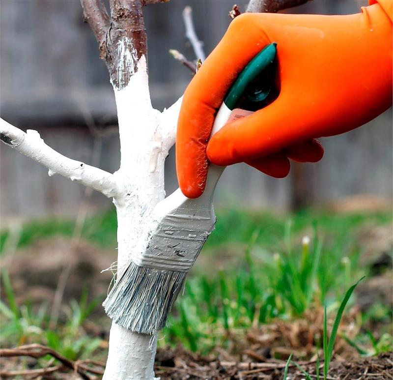 Побелка для деревьев как сделать 795
