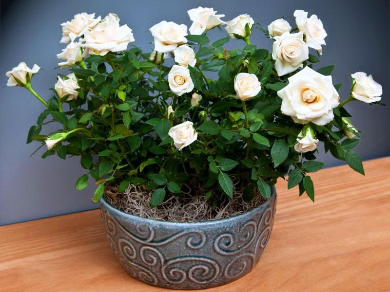 Картинки мини розы, делать открытки своими