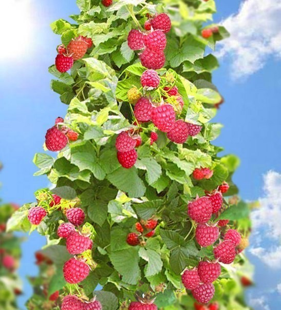 изделиями смогут малиновое дерево фото отзывы владимирский централ