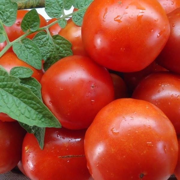 томат санька отзывы фото состоят местах