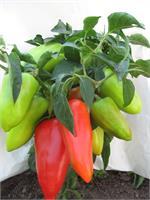Прищипнешь рассаду- увеличишь урожай перцев