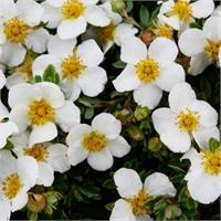 Лапчатка кустарниковая Tilford Cream - кремовое великолепие в вашем саду