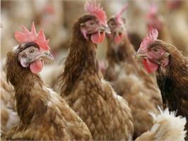 Птичий помет - ценное органическое удобрение.