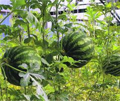 Как вырастить арбуз на Урале