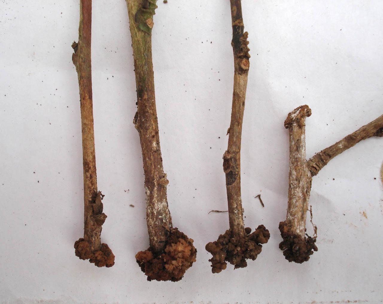 Как выглядит корень камелии