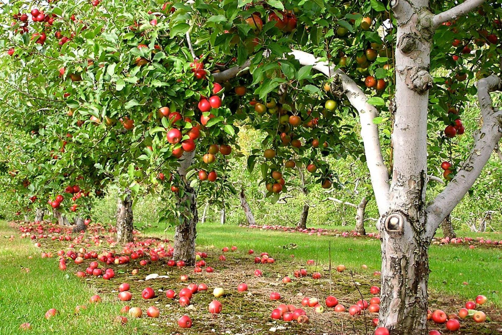 Совместимость плодовых деревьев с другими - «Ваш сад и дача 89