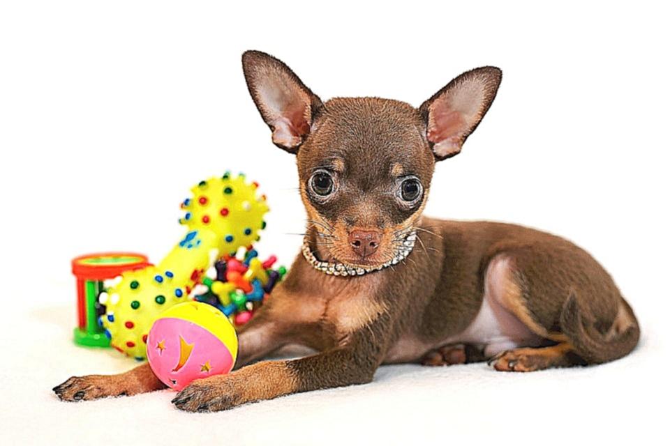Маленькие собаки фото с названиями пород