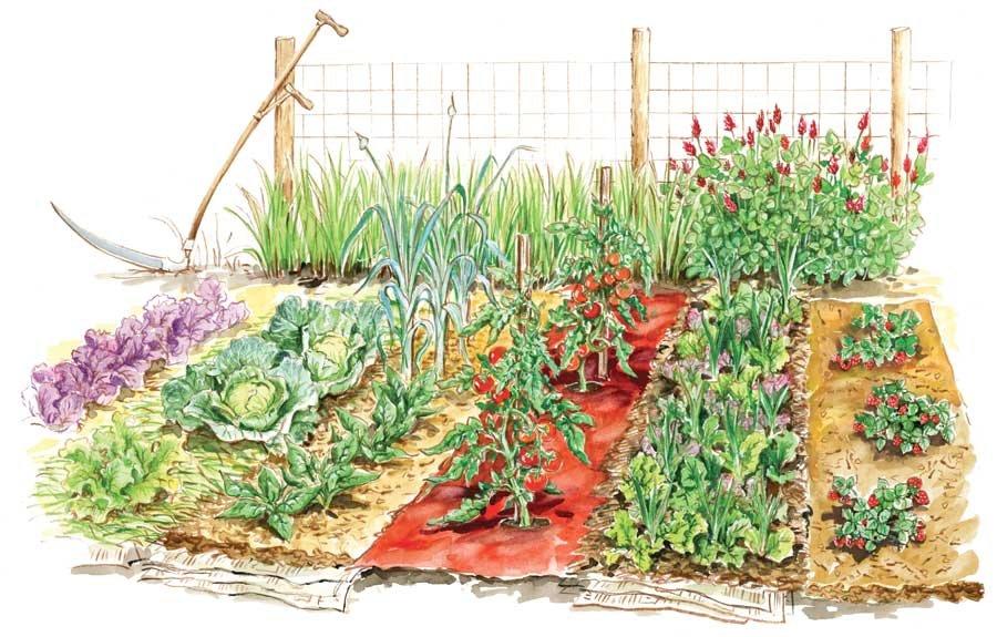 Картинка огорода с грядками овощей