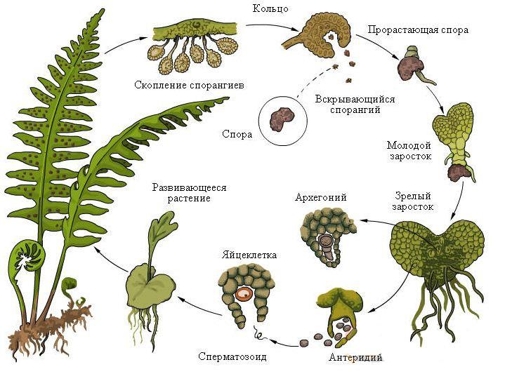 Цикл размножения папоротников 176