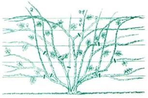 Обрезка плетистые розы уход и выращивание 23
