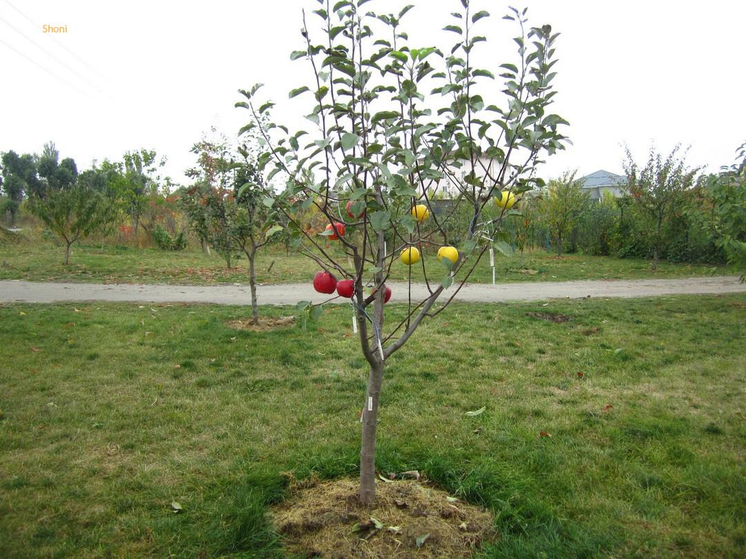 Можно ли сажать яблоню на старом месте 36