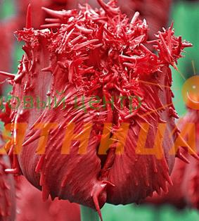 Тюльпан барбадос описание
