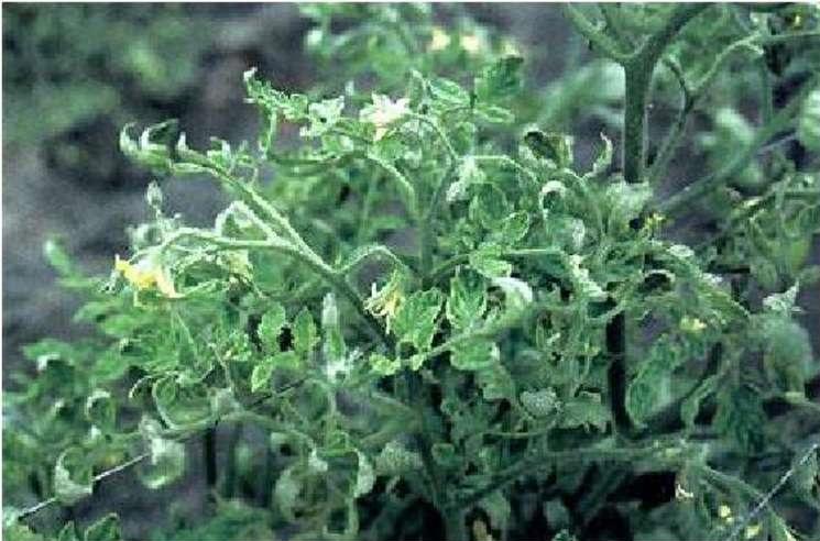 курчавость листьев томатов рассады