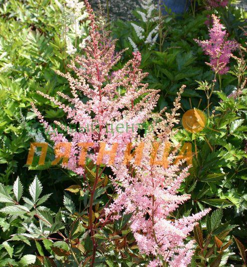 Какие цветы можно сажать в открытый грунт семенами 29