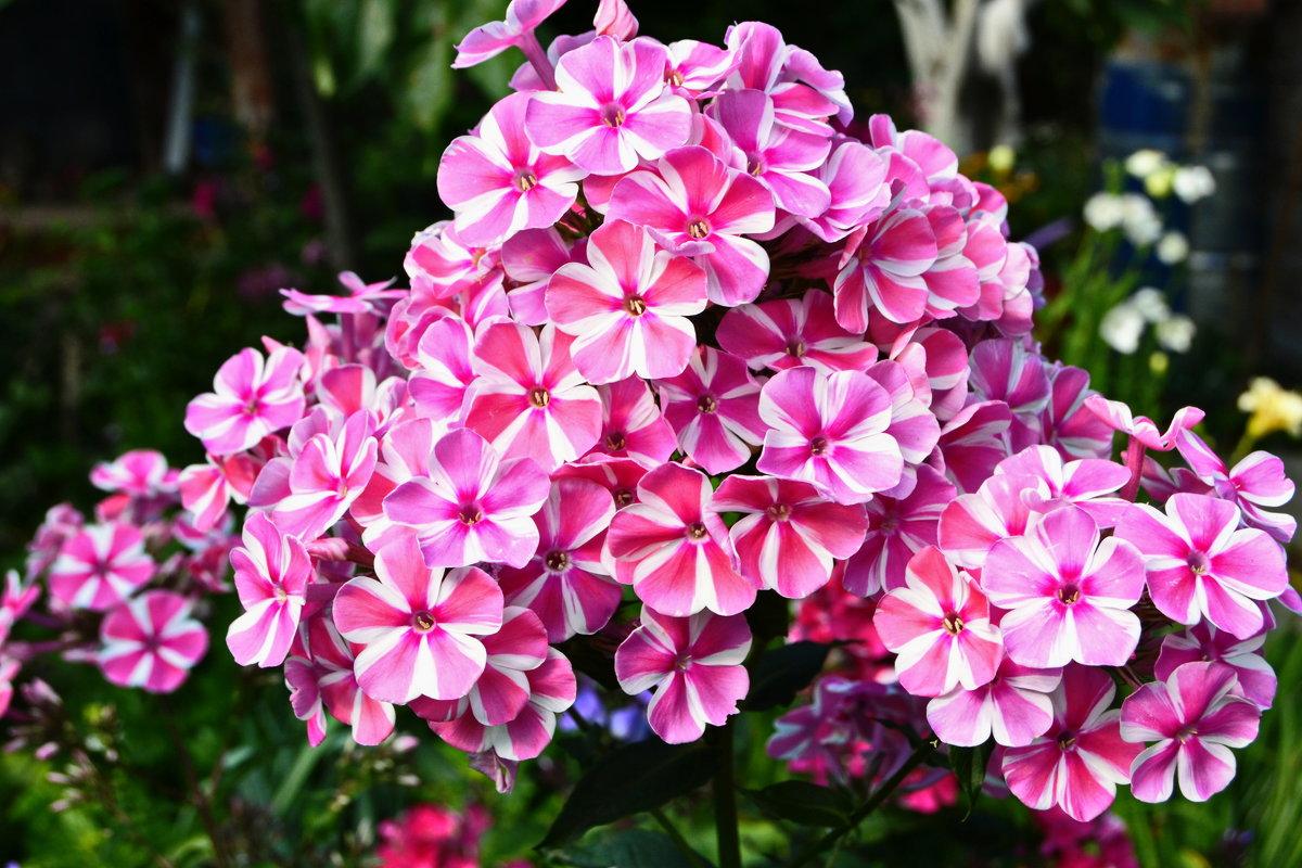 Купить цветы, купить цветы флоксы для посадки