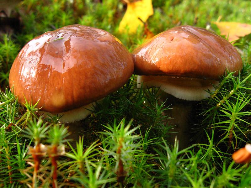 грибы маслята картинки смотреть свет задача неоднозначная