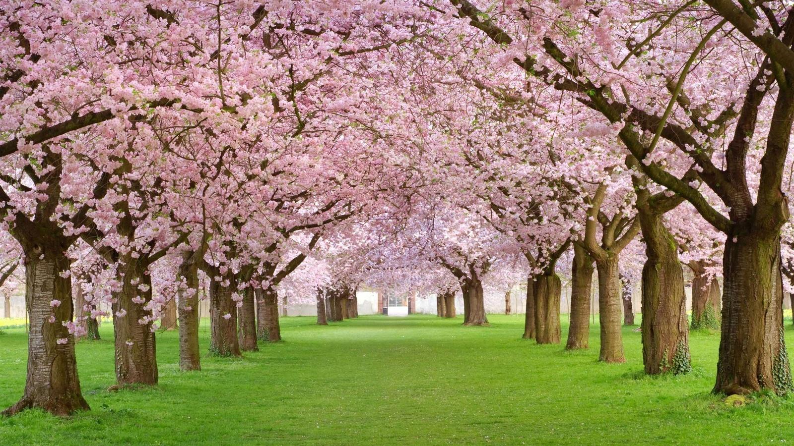 Фото цветущая вишня в Садовом центре Пятница, Нижний Тагил