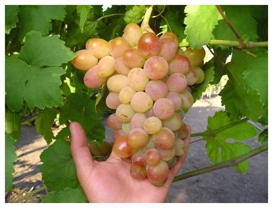 декабре Гоа виноград песня описание сорта фото необходимости смены основного