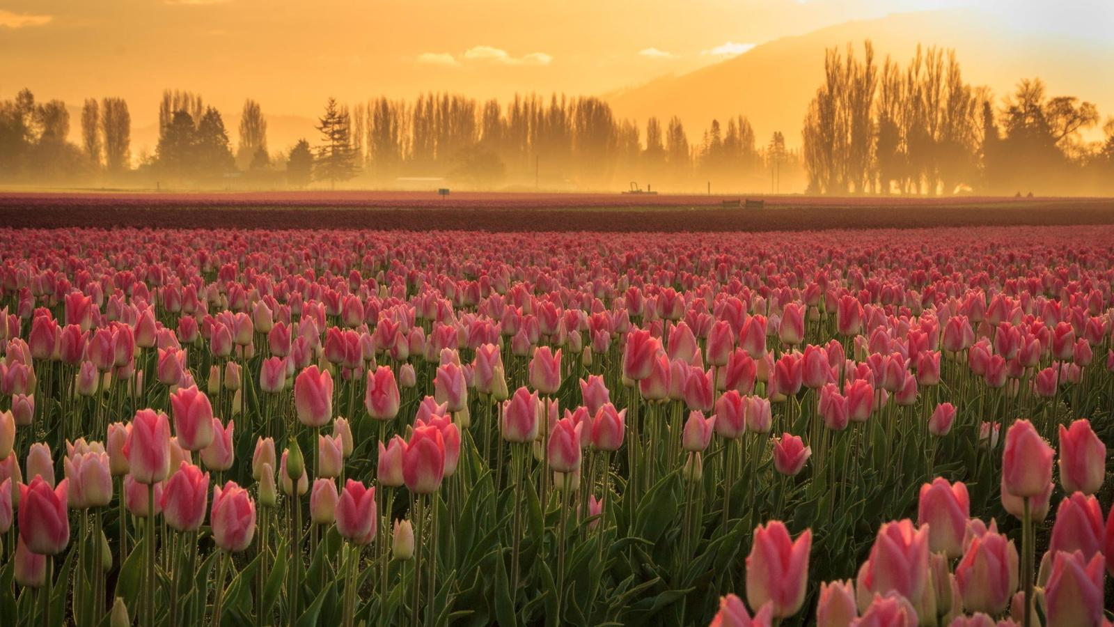 Картинка поле с тюльпанами большое разрешение