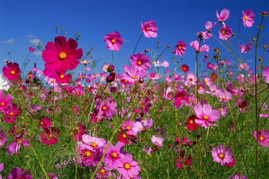 Космея цветы описание и 99