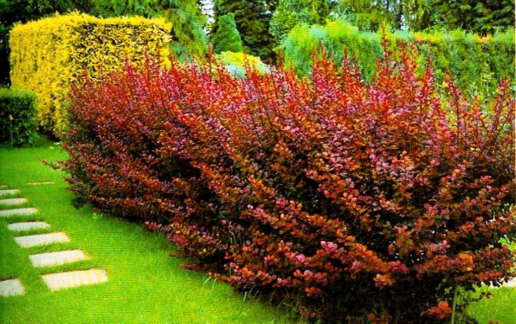 Как сажать кусты барбариса осенью 48